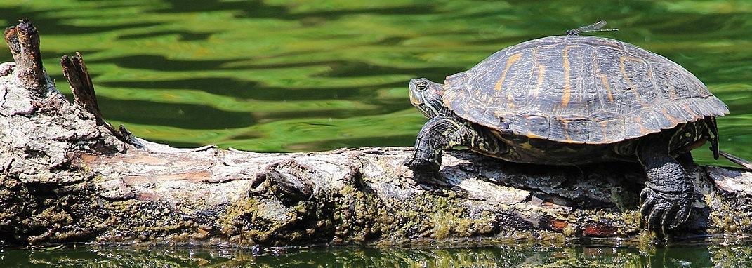 Se les escapa la tortuga